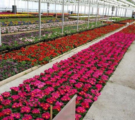 Ofertă - Lucru in Germania la cultivarea florilor!