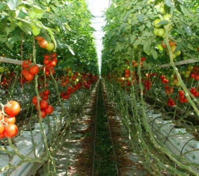 Muncitori necalificați în sere de roșii și castraveți